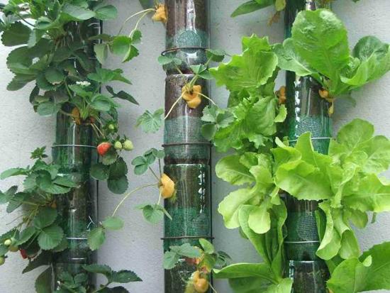 Garrafa PET também pode ser reutilizada na sua horta horta